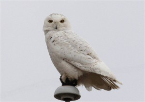 Perched Snowy Owl by Wayne Laubscher