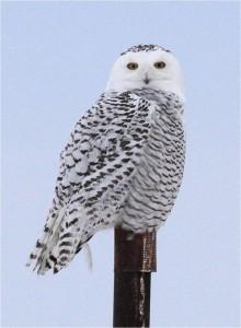 Snowy Owl perched by Wayne Laubscher