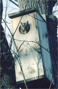 Eastern Screech-Owl in box by Wayne Laubscher