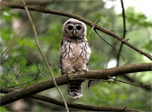 Barred Owl on roost in the forest, by Wayne Laubscher