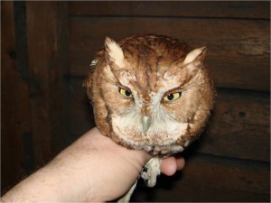 Red-phase Eastern Screech-Owl in hand by Wayne Laubscher