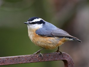 Red-breasted Nuthatch by Jake Dingel