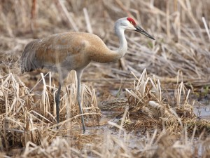 Sandhill Crane by Jake Dingel, PGC
