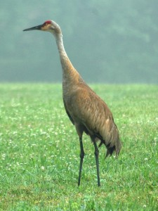 Adult Sandhill Crane by Bill Williams, PGC