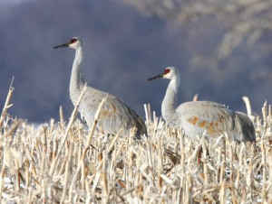 Two Sandhill Cranes in winter plumage by Jake Dingel