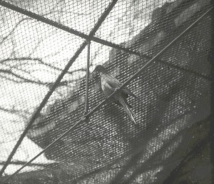Martha, the last passenger pigeon, died at Cincinnati Zoo om Sept. 1, 1914