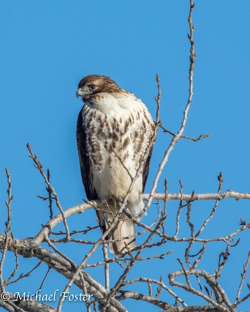 Red Tailed Hawks Recognizing Subspecies In Vermont Vermont Ebird