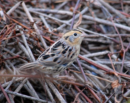 This beautiful Le Conte's Sparrow was photographed at Glenhurst Meadows by Jeff Ellerbusch.