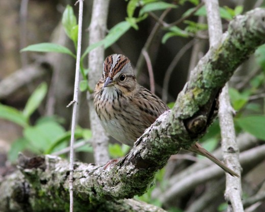 The secretive Lincoln's Sparrow can be found reliably at Glenhurst in September and October (photo by Jeff Ellerbusch).