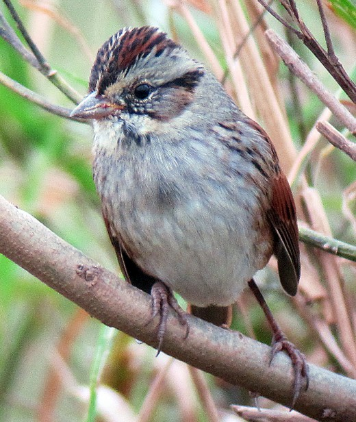 Swamp Sparrows are common migrants in the wet weedy habitat at Finderne Wetlands (photo by Jonathan Klizas).