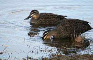 A Pair of Grey Duck in Australia showing features of pure birds. A well marked face. Distinctive pale edged feathers and dark bills.