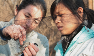 Students extract a Black-capped Chickadee from a mist net. Photo by Shailee Shah, courtesy of The Cornell Daily Sun.