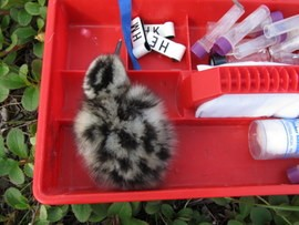 Whimbrel chick with banding equipment, photo by Hope Batcheller.