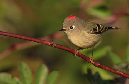 "Ruby-crowned Kinglet, Robin's ""surgery bird"""
