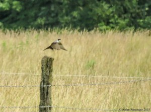 The Fork-tailed Flycatcher in Davies Co.