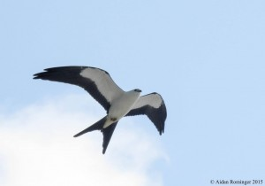 A Swallow-tailed Kite, normally found in the Southeastern US