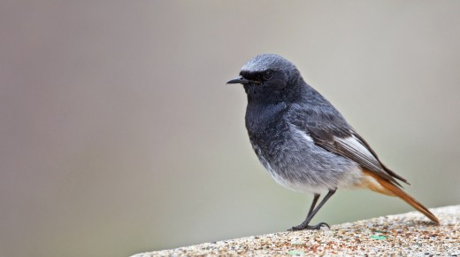 Black Redstart, or Rougequeue noir in France, where this was taken