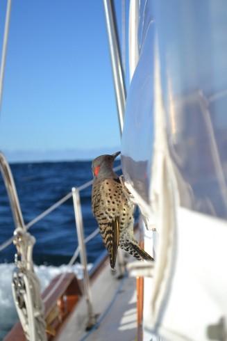 Northern Flicker adrift at sea, photo ©LeAnn Marchman