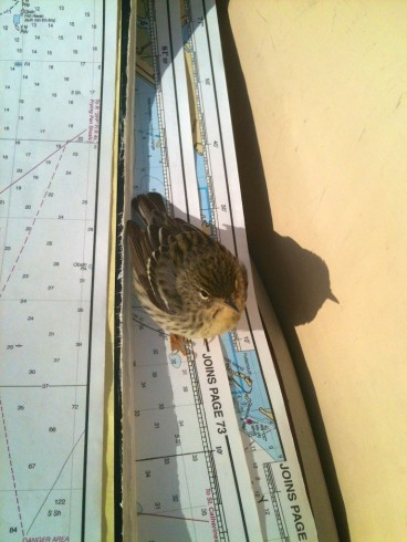 The first documented case of Blackpoll Warblers using maps tonavigate. Photo ©Jaye Lunsford.