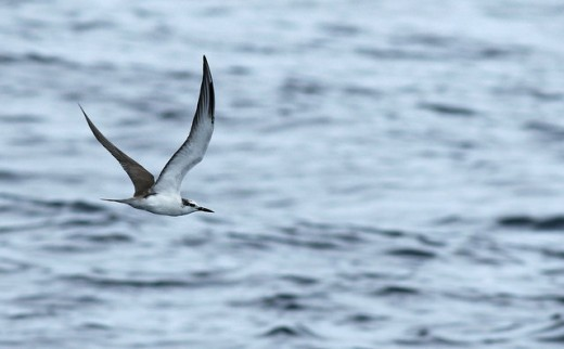 Although not as regular as Sooty Tern—there is still a chance to find a Bridled!