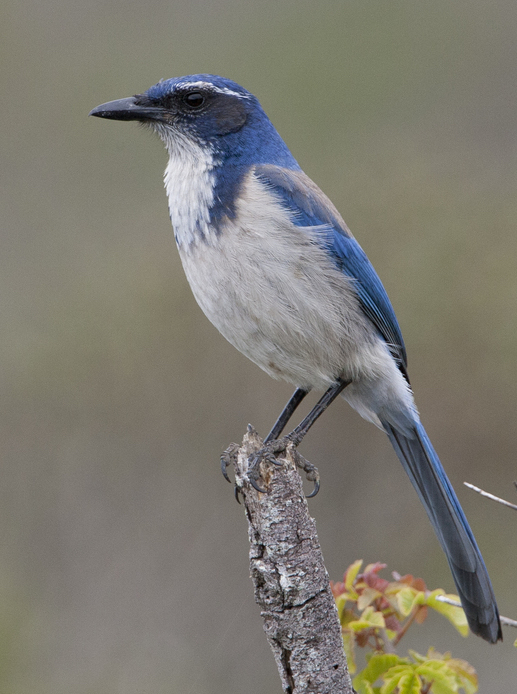 California Scrub-Jay, larger and bigger-billed than Woodhouse's Scrub-Jay and with a more prominent blue spur on the breast sides. Photo by Brian Sullivan/Macaulay Library.