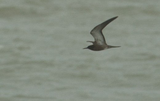 Sooty Tern—the classic hurricane bird, this one displaced by Tropical Storm Hanna