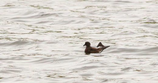 Not your everyday sight on an Arizona lake—Wedge-rumped Storm-Petrel!