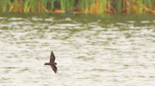 Least Storm-Petrel—not a bird often photographed with cattails in the background.
