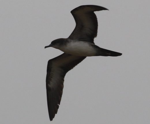 "Wedge-tailed Shearwater, flying over Amado WTP in Arizona. More like a ""shearsand."" Photo by Laurens Halsey/Macaulay Library."