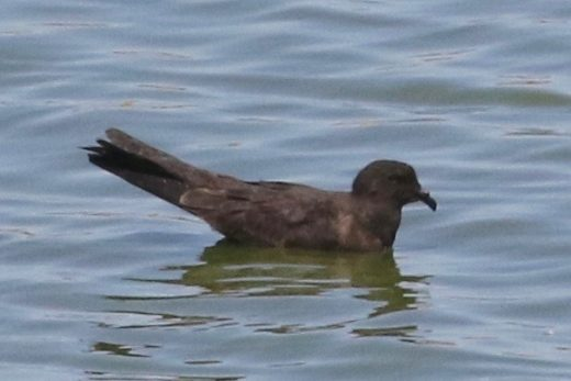 Newton's 5th tubenose took a few more days to show up: this Black Storm-Petrel wasn't seen until the 10th.