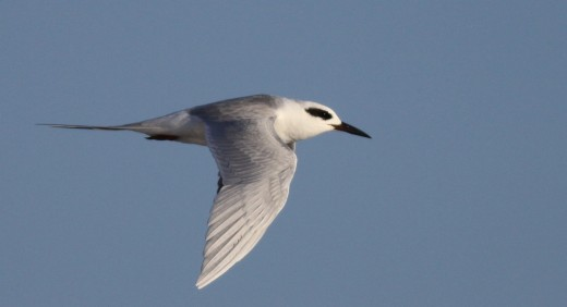 Check terns carefully—a Forster's could be hiding behind their black mask.