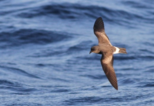 Check any inland (storm-) petrel carefully for Band-rumped!