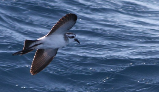 If you're lucky, hurricane birding could yield something as fantastic as a White-faced Storm-Petrel.