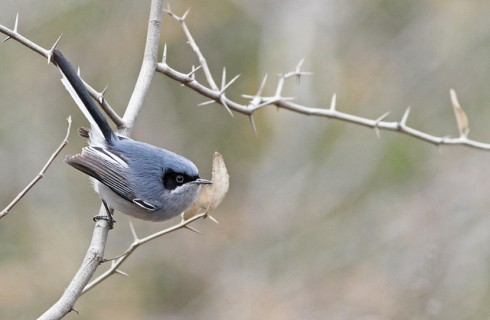 Masked Gnatcatcher, one of the birds seen at Barba Azul