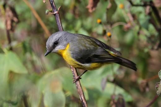 Eastern Yellow Robin. Photo by Alexander Skevington.