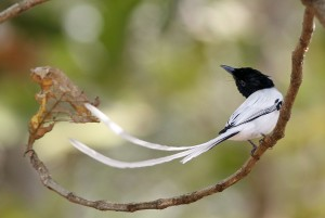 Asian Paradise-Flycatcher in Coimbatore, India, by S. Lakshminarayanan. For this year's GBBC, we hope this and 5161 other species are found!