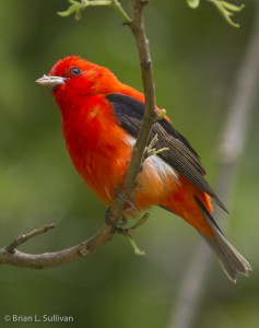 Fig. 6. Scarlet Tanager at High Island. One of the keys to our success was ignoring these spectacular birds, which were all around us at Smith Oaks. When a bird moved, it was usually a tanager or Rose-breasted Grosbeak, but occasionally proved to be some other new species for our Big Day. Photo by Brian Sullivan.