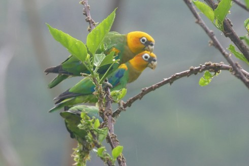 These Saffron-headed Parrots, in northern Colombia, were a big highlight for Noah during the month of March.