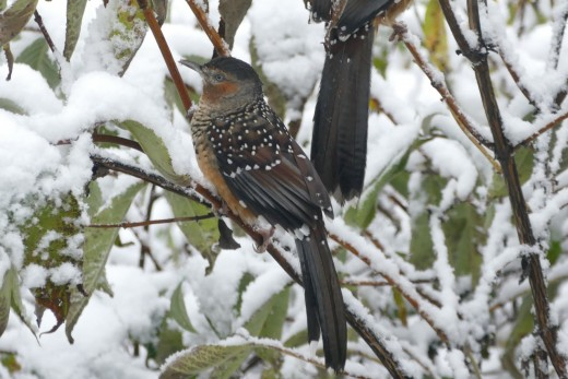 Giant Laughingthrush in the snow in Sichuan, China