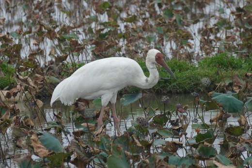 Siberian Crane in Taiwan