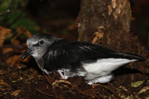 This Magenta Petrel is only the 17th report ever in eBird—not too surprising for this very rare species.