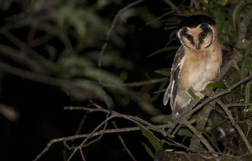 Buff-fronted Owl by Giselle Mangini/Macaulay Library