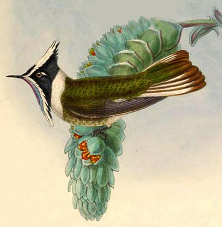 Oxypogon cyanolaemus