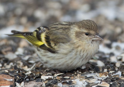 Pine Siskin (greenish) is a distinctive but poorly known form of Pine Siskin. It appears similar to female Eurasian Siskin, but with less defined streaking on the flanks, broader and brighter yellow at the base of the primaries and a finer bill.