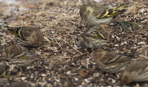 Pine Siskin (Greenish) are most obvious when with flocks of normal Pine Siskins.