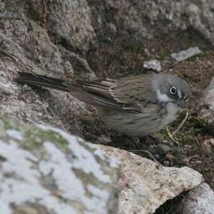 Sagebrush Sparrow (Artemesiospiza nevadensis) at Southeast Farallon Island, CA, where it is a vagrant. The streaked back, washed out colors, and narrow malar stripe eliminate the closely related Bell's Sparrow. Photo by Tony Leukering.