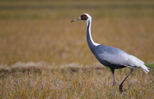 White-naped Crane, added using the new tool here