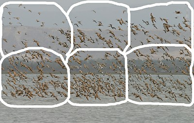 Large flock of shorebirds divided into 6 sections