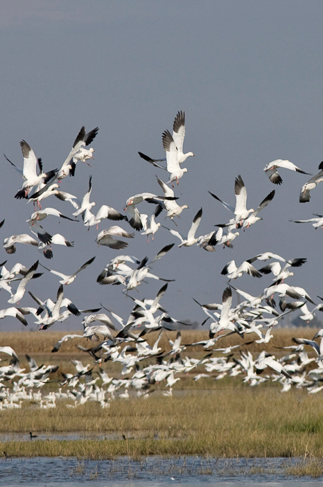 Central Valley Birds