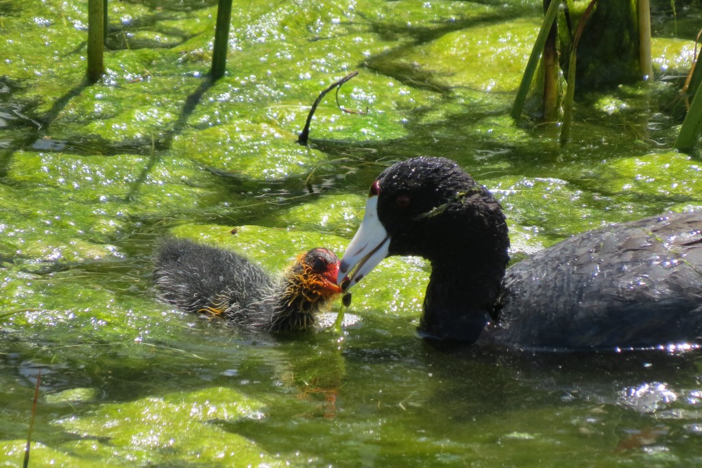 The red frontal shield on this bird would have identified it as an American Coot in 2016 (as opposed to Caribbean Coot), but now identifies it as the Red-shielded form of American Coot.